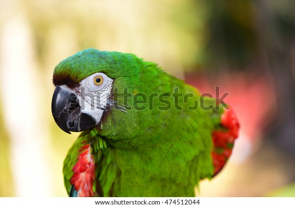 Beautiful Parrot. Severe Macaw