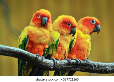 Beautiful parrot, Sun Conure on tree branch.