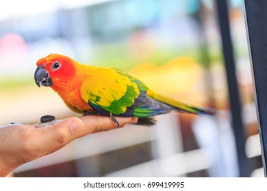 Beautiful Parrot, sun Conure parrot on hand.
