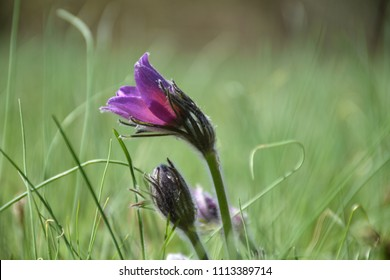 Beautiful Pasque flower in a blurred green grass nature