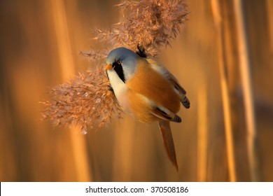 Beautiful passerine bird Bearded parrotbill Panurus biarmicus,very colorful male with  black moustaches,orange-brown body and long tail, perched on orange reed bed  in  warm evening light. Close up.