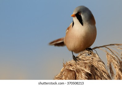 Beautiful passerine bird Bearded parrotbill Panurus biarmicus, male with blue-grey head, black moustaches,orange-brown body and long tail, perched on orange reed bed stem with blue sky in background.