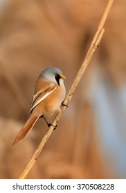 Beautiful passerine bird Bearded parrotbill Panurus biarmicus, male with blue-grey head, black moustaches,orange-brown body and long tail, perched on orange reed bed  in  warm evening light. Vertical.