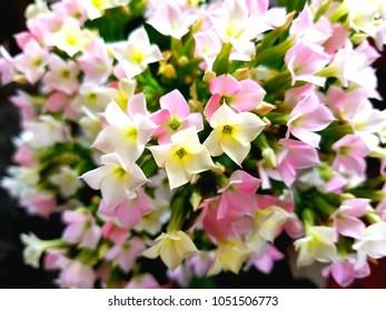 beautiful pastel kalanchoe flowers.