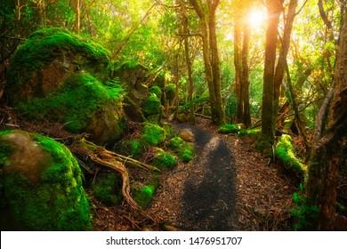Beautiful path in lush tropical rainforest jungle in Tasman peninsula, Tasmania, Australia. The ancient jurassic age jungle is part of three capes track, famous bush walking of Tasmania, Australia.