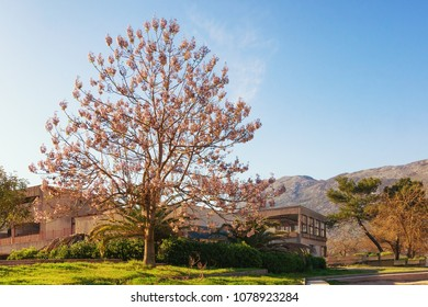 Beautiful Paulownia tomentosa (princess tree) in bloom on sunny spring day.  Montenegro, Prcanj town