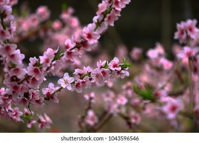 Beautiful peach blossom