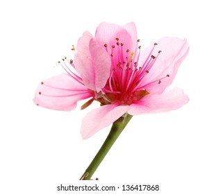 Beautiful peach blossom isolated on white