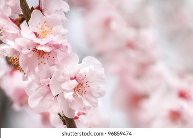 Beautiful peach flowers close up - as background