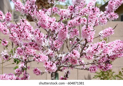 Beautiful peach tree in full bloom with abundant pink and white flower blossoms