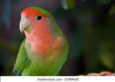 Beautiful Peach-faced lovebird