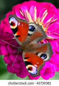 Beautiful Peacock butterfly on a flower