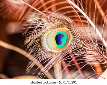 Beautiful Peacock feather