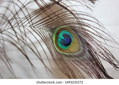 beautiful peacock feather close up