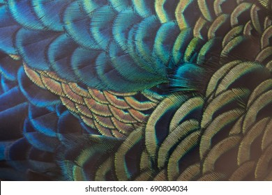 Beautiful peacock feathers (Green peafowl)