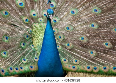 Beautiful peacock with feathers out / Peacock / a beautiful peacock with colorful feathers fanned out
