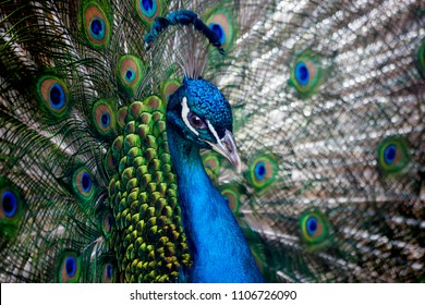 Beautiful peacock head