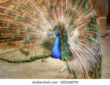 A beautiful peacock with a loose tail