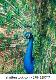 A beautiful peacock with mesmerizing green feathers
