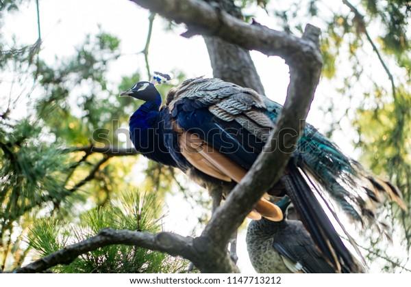 Beautiful peacock. Paradise bird.