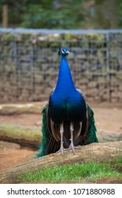 beautiful peacock in a park in germany