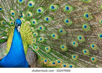 Beautiful peacock showing feathers