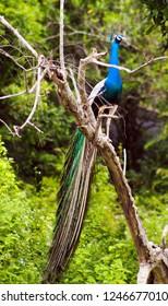 beautiful  peacock sitting on a barren tree