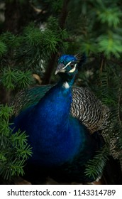 beautiful peacock under the tree
