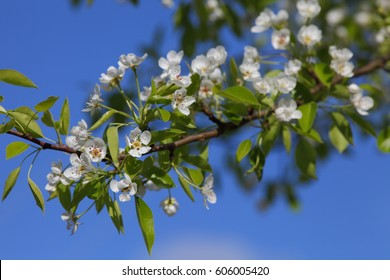 Beautiful  pear flowers on background of blue sky.