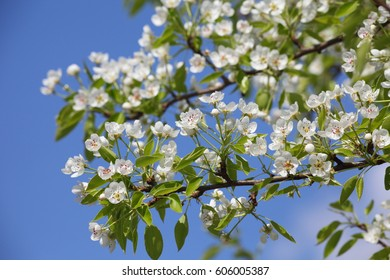 Beautiful  pear flowers in spring garden on background of blue sky.
