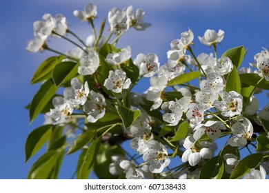 Beautiful pear tree flowers at blue sky background. Beautiful spring background.