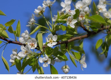 Beautiful pear tree flowers at blue sky background.
