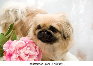 beautiful pekingese with flower of the peony