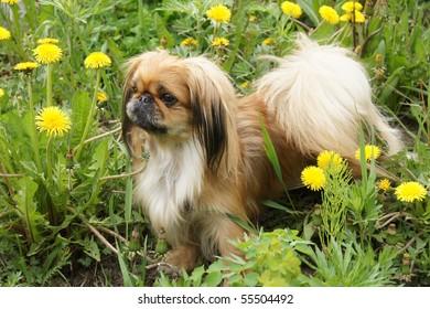 beautiful pekingese  on grass amongst dandelion