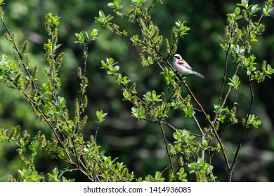 Beautiful Penduline Tit, Remiz pendulinus, by springtime amongst green leaves in a shrub at the swedish island Oland
