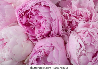 Beautiful peonies. Bouquet of pink peony background.