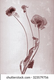 Beautiful peonies branch. Daguerreotype. Film grain. Botanical negative x-rays scan. Canvas texture background. Vintage conceptual old aged postcard. Love bohemia concept. Dark sepia brown soft color
