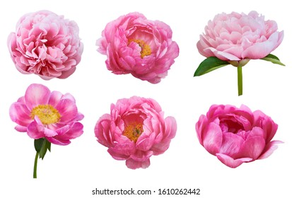 Beautiful peonies on white background. Pink flowers isolated.