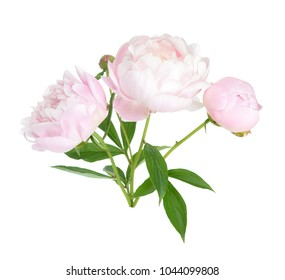 Beautiful peony branch isolated on white background
