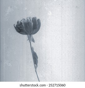 Beautiful peony. Daguerreotype. Film grain. Vintage illustration with botanical negative film or x-rays scan. Canvas texture background. Vintage or conceptual old retro aged postcard. Black and white