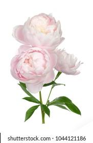 Beautiful peony flower isolated on white background
