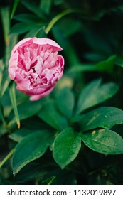 Beautiful peony flower isolated on nature green background