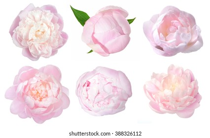 beautiful peony flower isolated on white background