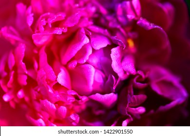 Beautiful peony flower photographed close-up on a beautiful background