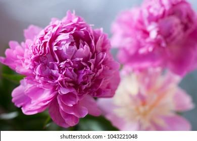 Beautiful peony flower soft focus