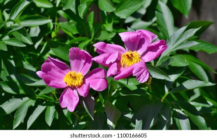beautiful peony flower . South Bohemia, Czech Republic