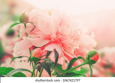 Beautiful peony flowers. Floral background