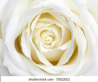 Beautiful perfect white rose flower head