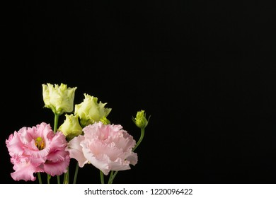 Beautiful perfectly blooming, soft lit fringed Lisianthus Corelli (botanical: Eustoma) . Shot against a dark, slightly lit background with copy space.