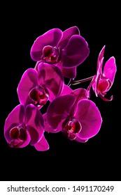 Beautiful perilla purple orchid on dark background